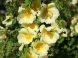 Chinesische Gold-Rose, Rosa hugonis, Wurzelware