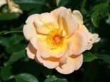 Parkrose 'Maigold', Rosa 'Maigold', Containerware
