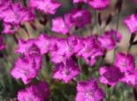 Pfingst-Nelke 'Amaranth', Dianthus gratianopolitanus 'Amaranth', Topfware