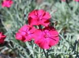 Pfingst-Nelke 'Badenia', Dianthus gratianopolitanus 'Badenia', Topfware