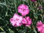 Pfingst-Nelke 'Grandiflorus', Dianthus gratianopolitanus 'Grandiflorus', Topfware