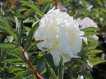 Pfingstrose 'Duchesse de Nemours', Paeonia lactiflora 'Duchesse de Nemours', Topfware