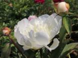 Pfingstrose 'Immaculee', Paeonia lactiflora 'Immaculee', Topfware