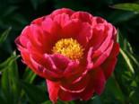 Pfingstrose, rot, Paeonia lactiflora, rot, Topfware