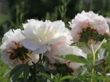Pfingstrose 'Shirley Temple', Paeonia lactiflora 'Shirley Temple', Topfware