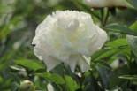 Pfingstrose weiß gefüllt, Paeonia lactiflora, weiß gefüllt, Topfware