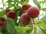 Pfirsich 'Früher Roter Ingelheimer', Stamm 40-60 cm, 120-160 cm, Prunus persica 'Früher Roter Ingelheimer', Containerware