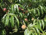 Pfirsich 'Kernechter vom Vorgebirge', Stamm 40-60 cm, 120-160 cm, Prunus persica 'Kernechter vom Vorgebirge', Wurzelware