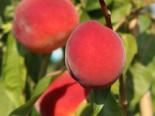 Pfirsich 'Roter Weinbergpfirsich', Stamm 40-60 cm, 120-160 cm, Prunus persica 'Roter Weinbergpfirsich', Containerware
