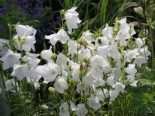 Pfirsichblättrige Glockenblume 'Alba', Campanula persicifolia 'Alba', Topfware