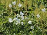 Pfirsichblättrige Glockenblume 'Grandiflora Alba', Campanula persicifolia 'Grandiflora Alba', Topfware