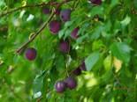 Pflaume 'Kirkespflaume', Stamm 40-60 cm, 120 cm, Prunus domestica 'Kirkespflaume', Containerware