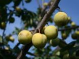 Pflaume 'Oullins Reneklode' / Eierpflaume, Stamm 40-60 cm, 120-160 cm, Prunus 'Oullins Reneklode' / Eierpflaume, Wurzelware