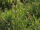 Polsterartige Segge 'The Beatles', Carex caryophyllea 'The Beatles', Topfware