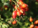Pracht-Hagebuttenrose, Rosa sweginzowii 'Macrocarpa', Wurzelware