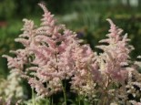 Astilbe x japonica 'Europa'