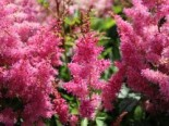 Prachtspiere 'Younique Lilac' ®, Astilbe japonica 'Younique Lilac' ®, Topfware