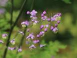 Prächtige Wiesenraute, Thalictrum rochebruneanum, Topfware
