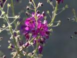 Purpur Königskerze 'Violetta', Verbascum phoeniceum 'Violetta', Topfware