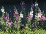Purpurblütige Königskerze, Verbascum phoeniceum, Topfware