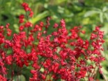 Purpurglöckchen 'Coral Forest' ®, Heuchera sanguinea 'Coral Forest' ®, Topfware