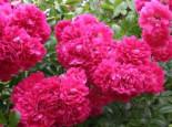 Ramblerrose 'Excelsa', Rosa 'Excelsa', Wurzelware