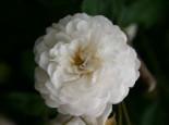 Ramblerrose 'Felicite et Perpetue', Rosa 'Felicite et Perpetue', Containerware