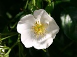 Ramblerrose 'Filipes Kiftsgate', Rosa 'Filipes Kiftsgate', Containerware