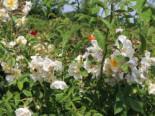 Ramblerrose 'Lykkefund', Rosa 'Lykkefund', Containerware