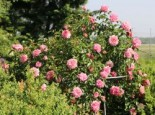 Ramblerrose 'Paul Noel', Rosa 'Paul Noel', Wurzelware