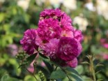 Ramblerrose 'Perennial Blue', Rosa 'Perennial Blue' ADR-Rose, Containerware