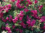 Ramblerrose 'Super Excelsa', Rosa 'Super Excelsa' ADR-Rose, Containerware