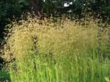 Rasen Schmiele 'Goldschleier', Deschampsia cespitosa 'Goldschleier', Topfware