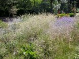 Rasen Schmiele, Deschampsia cespitosa, Topfware