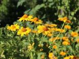 Raues Sonnenauge, Heliopsis scabra, Topfware