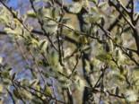 Reifweide, 60-100 cm, Salix daphnoides, Containerware