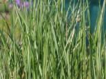 Reitgras 'Avalanche', Calamagrostis x acutiflora 'Avalanche', Topfware
