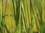 Reitgras 'England', Calamagrostis x acutiflora 'England', Topfware