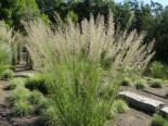 Reitgras 'Waldenbuch', Calamagrostis x acutiflora 'Waldenbuch', Topfware