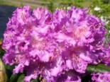 Rhododendron 'Alfred', 30-40 cm, Rhododendron Hybride 'Alfred', Containerware