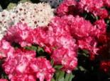 Rhododendron 'Anuschka', 25-30 cm, Rhododendron yakushimanum 'Anuschka', Containerware