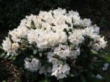 Rhododendron 'Apollonia', 20-25 cm, Rhododendron yakushimanum 'Apollonia', Containerware