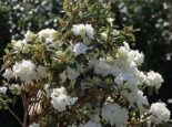 Rhododendron 'April Snow', 30-40 cm, Rhododendron dauricum 'April Snow', Containerware