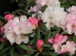 Rhododendron 'Aprilmorgen', 20-25 cm, Rhododendron yakushimanum 'Aprilmorgen', Containerware