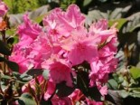 Rhododendron williamsianum 'August Lamken'