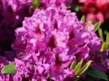 Rhododendron 'Azurro', 30-40 cm, Rhododendron Hybride 'Azurro', Containerware