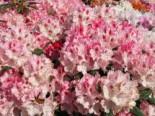 Rhododendron 'Ballkönigin', 25-30 cm, Rhododendron yakushimanum 'Ballkönigin', Containerware