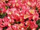 Rhododendron 'Barbarella', 25-30 cm, Rhododendron yakushimanum 'Barbarella', Containerware