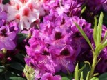 Rhododendron 'Bariton', 30-40 cm, Rhododendron Hybride 'Bariton', Containerware