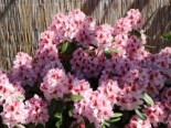 Rhododendron 'Belami' ®, 30-40 cm, Rhododendron Hybride 'Belami' ®, Containerware